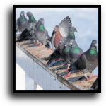 Lakewood Ranch, FL Bird & Pigeon Removal