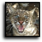 Palm Beach County, FL Bobcat Removal Service