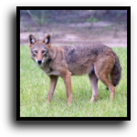West Palm Beach, FL Coyote Removal Service