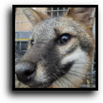 West Palm Beach, FL Fox Removal Service