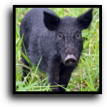Lakewood Ranch, FL Hog Removal Service