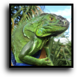 Palm Beach County, FL Iguana Removal Service