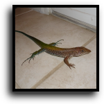West Palm Beach, FL Lizard Removal Service