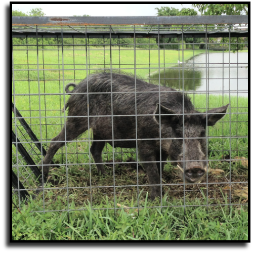 Florida City, FL Hog Removal