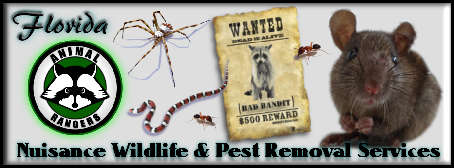 Florida Raccoon Removal Services (Indian River County)