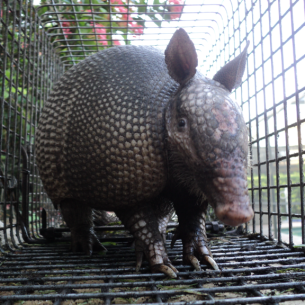 Davie, FL Armadillo Removal Service