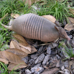 Armadillo Control in Davie, FL