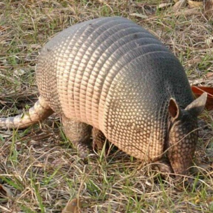 Davie, FL - Armadillo Digging in Yard