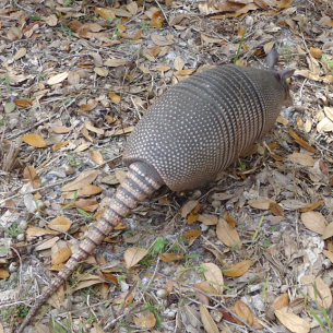 Davie, FL Armadillo Trapper