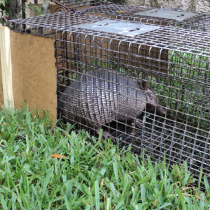 Get Rid of Armadillos - Davie, FL