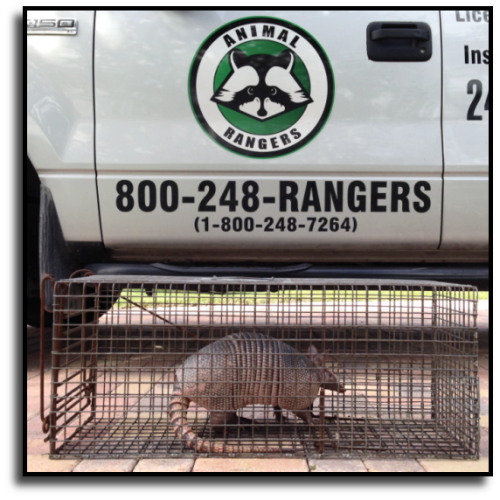 Charlotte County Armadillo Removal