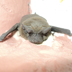 Animal Rangers Bat Removal Services