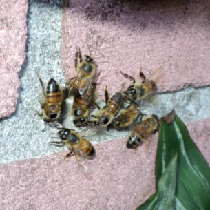 Animal Rangers Bee Control and Wasp Extermination Services