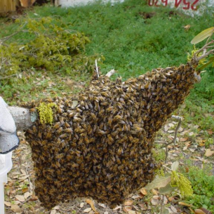 Animal Rangers Beehive Removal Services