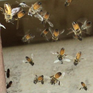 Animal Rangers Bee Removal and Wasp Control Services