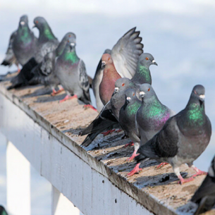 Dania Beach, FL Pigeon Removal Services