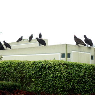 How to Get Rid of Vultures - Dania Beach, FL