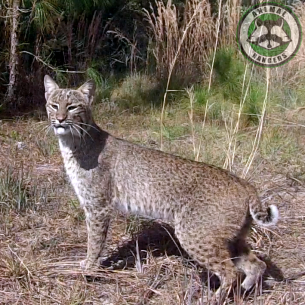 Miami Dade County Fl Bobcat Removal Nuisance Bobcat