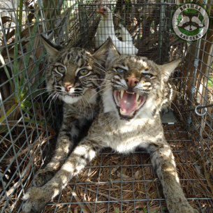 Bobcat Wildlife Trappers in Fort Lauderdale, FL
