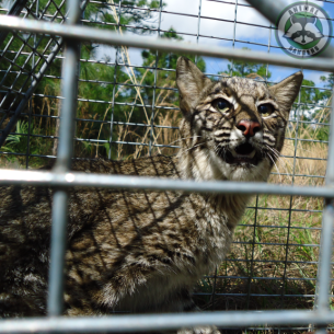 Fort Lauderdale, FL Nuisance Bobcat Trapping and Removal