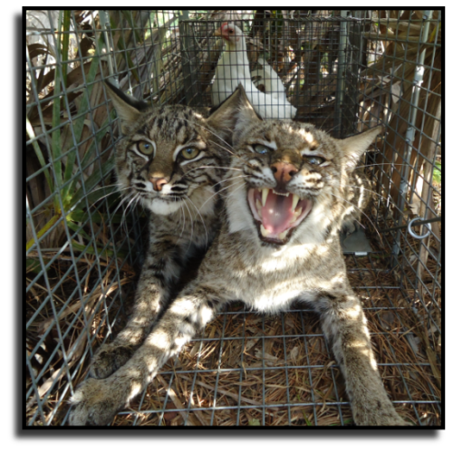 Palm Beach County Bobcat Removal