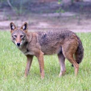 Animal Rangers Nuisance Coyote Trappers
