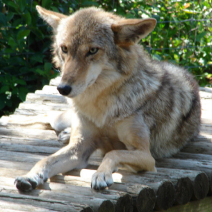 Animal Rangers Coyote Removal Services