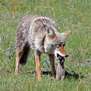Coyote Control in Davie, FL