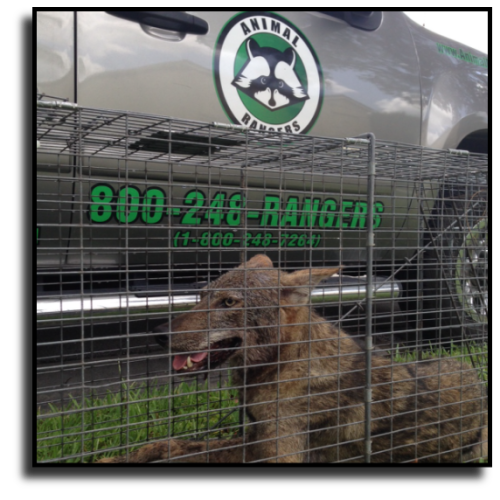 Cooper City, FL Coyote Removal