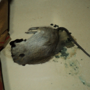 Animal Rangers Dead Animal in Attic Removal Services