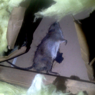 Dead Rat in Attic Removal Services in Broward County