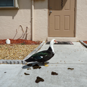 Broward County Nuisance Duck Removal Services