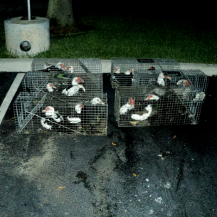Muscovy Duck Removal Nuisance Animal Control Services
