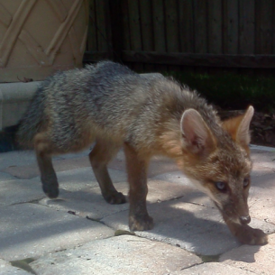 Animal Rangers Fox Capture and Removal Services