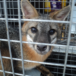 Animal Rangers Nuisance Fox Trappers