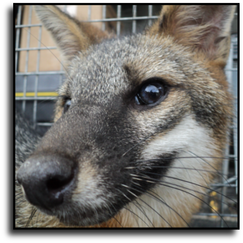 Dania Beach, FL Fox Removal