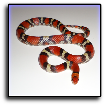 Snake Removal Pompano Beach, FL Animal Rangers Nuisance Wildlife Removal & Pest Control Services