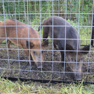 Animal Rangers Hog Removal Trapping Amp Control Services