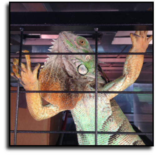 Palm Beach County Iguana Removal