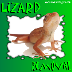 Animal Rangers Lizard Removal Services