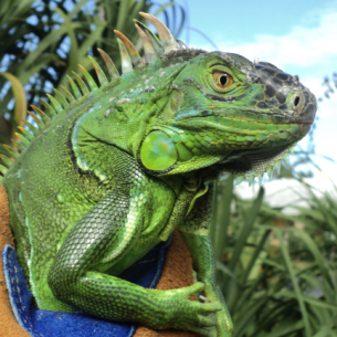 Animal Rangers Iguana Removal Services