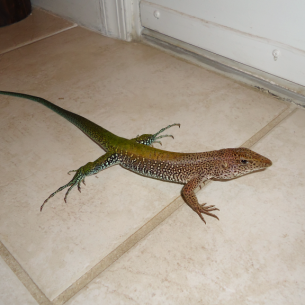 Animal Rangers Lizard Control and Iguana Removal Services