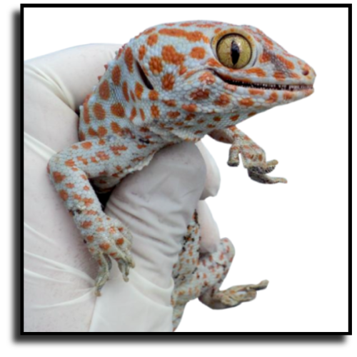 Miami Shores, FL Lizard Removal Service