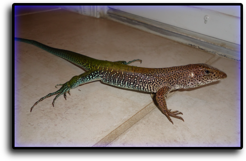 Lizard Removal Miami Gardens, FL Animal Rangers Nuisance Wildlife Removal & Pest Control Services