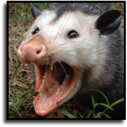 Manatee County Opossum Removal