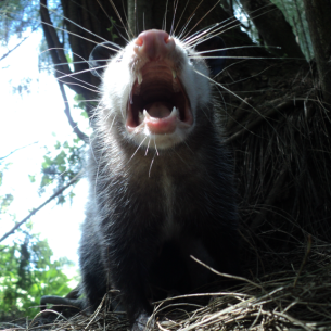 Fort Lauderdale, FL Opossum Removal Service