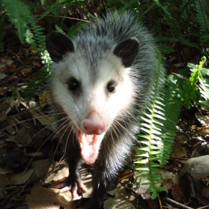 Animal Rangers Opossum Removal Trapping Amp Control Services