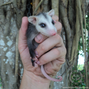 St Lucie County Fl Opossum Removal Service Wildlife Control