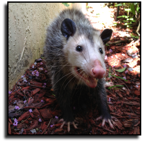 West Palm Beach, FL Opossum Removal Service