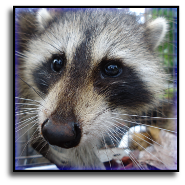 Port Charlotte, FL Raccoon Removal
